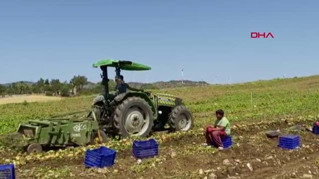 Mevsimin ilk patates hasadı Datça'da yapıldı