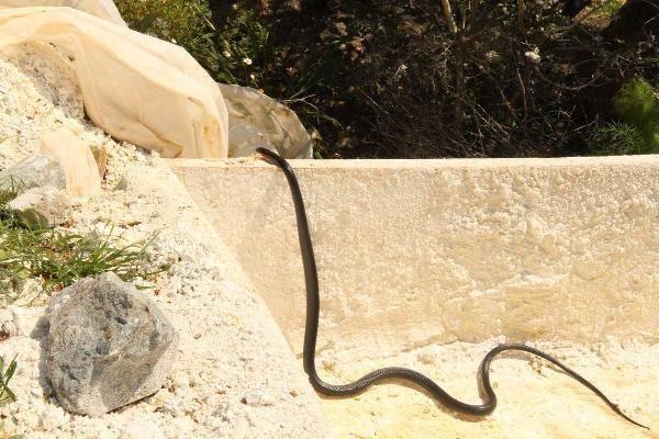 Kuşadası'nda kara yılan paniği! Farklı noktalardan peş peşe ortaya çıktılar