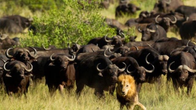 Böyle iş ilanı ne görüldü ne duyuldu, ABD yetenekli bizon avcısı arıyor