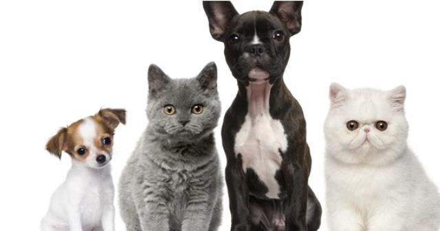 Evcil Hayvanlara Mikroçip Nasıl Takılır? Mikroçip Faydaları