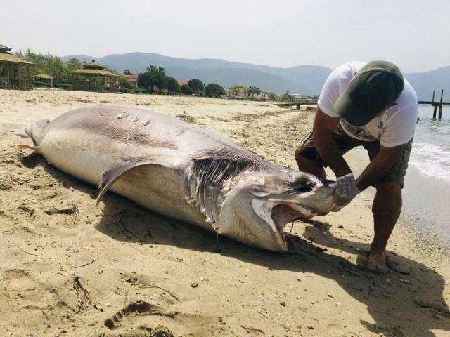 Kuşadası sahilde 3.7 metre uzunluğunda ölü bir köpekbalığı bulundu