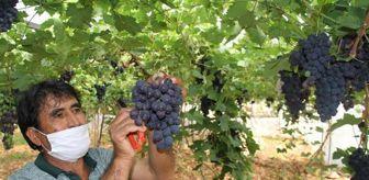 Rasim Şahin: Turfanda üzümde hasat zamanı! Kilosu dalında 30 lira