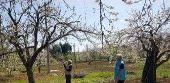 Şaphane: Şaphane'de meyve bahçelerinde ilaçlama çalışmaları