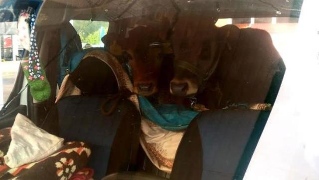 Gören kendini gülmekten alamadı! Aracın arka koltuğunda 2 düveyle ilginç yolculuk