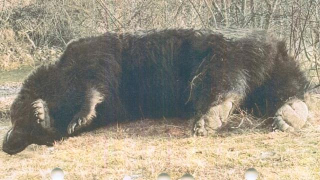 Liechtenstein prensi Avrupa Birliği'nin en büyük ayısını öldürmekle suçlanıyor