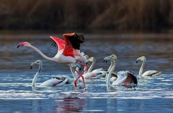 Son dakika haber: Eber Gölü'nde flamingolar görsel oluşturdu