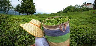 ÇAYKUR, birinci sürgün yaş çay alım kampanyasını başlatıyor! Dönüm başına 600 kilogram yaş çay