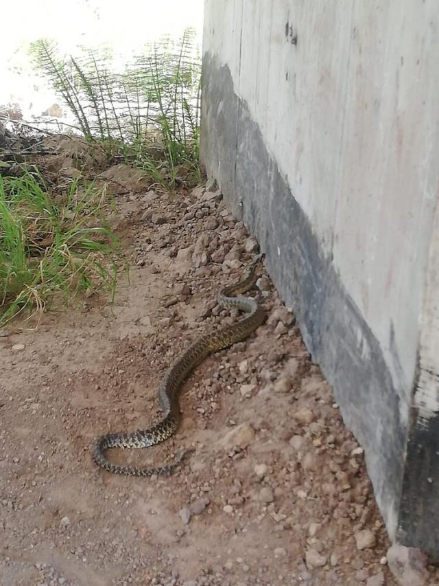 Televizyonun arkasındaki gölgeye eğilince 2 metrelik yılanla göz göze geldiler