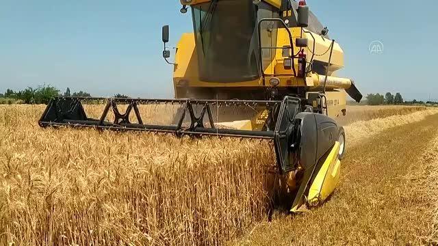 Kozan'da buğday hasadına başlandı