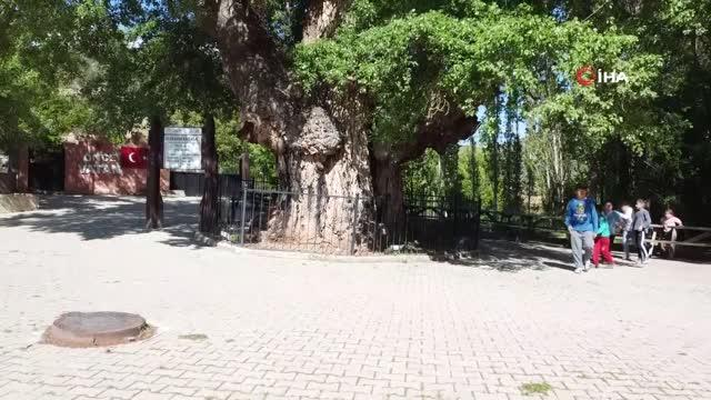 20 metre boyundaki asırlık ulu kavak ağacı, heybetli görüntüsü ile dikkat çekiyor