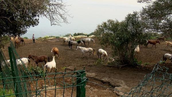 İBB'nin kayıp atlarının faturası Dörtyol Belediyesi Veteriner İşleri Müdürü'ne kesilecek! Memurluktan ihracı isteniyor