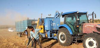 Faruk Işık: Mardin'de mercimek üreticilerinin yüzü bu yıl gülmedi