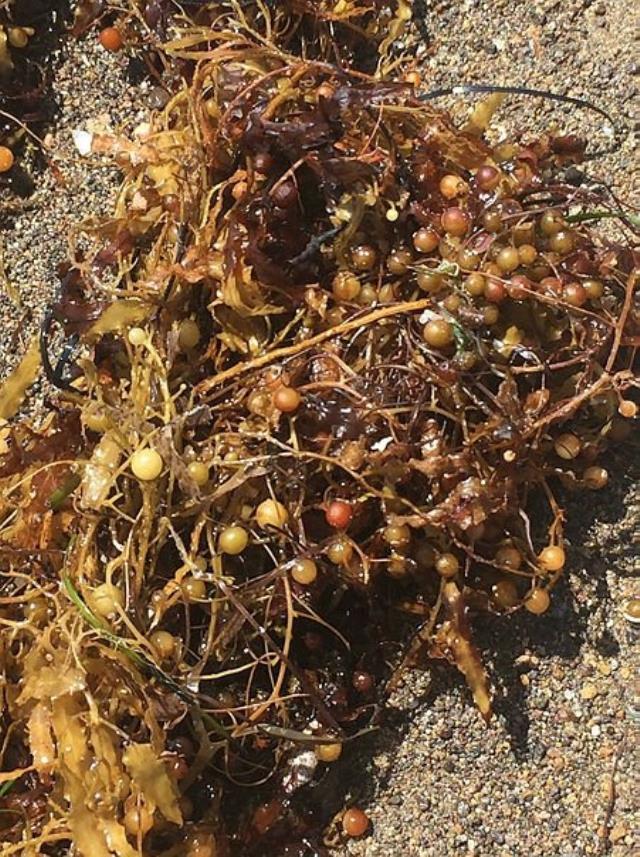 Deniz salyası bitmeden yeni kabus! Ege kıyılarında çürümüş yumurta gibi kokan yosunlar görülmeye başladı