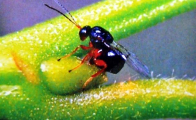 Lakabı 'katil' olan gal arısı Kastamonu'da görüldü