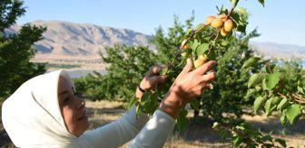 Toprak Mahsulleri Ofisi: Dünyanın kayısı başkenti'nde hasat başladı