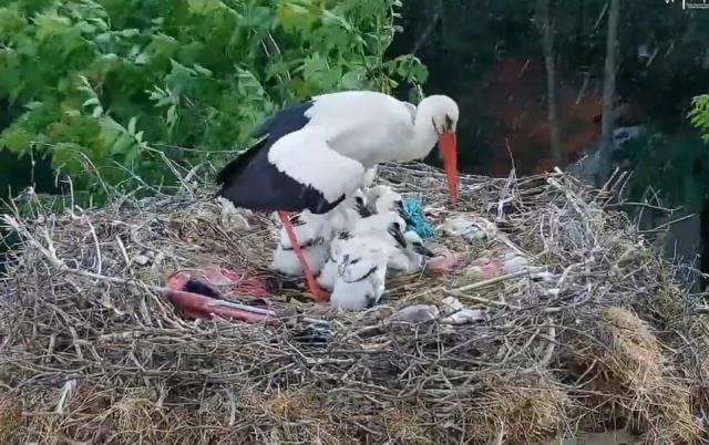 İşte annelik böyle bir şey! Fedakar leylak, ölüm pahasına yavrularını korudu