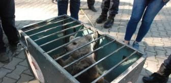 Bear cub attacked by dogs, has rescued