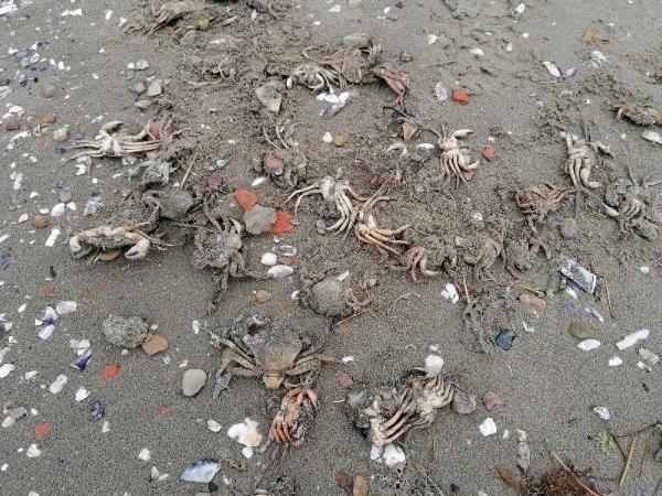 Silivri'de ölü yengeç tedirginliği