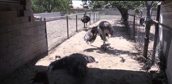 Ciro: Patates üretimini bırakıp devekuşu çiftliği kuran girişimci ihracata hazırlanıyor