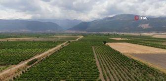 Anadolu: Gaziantepli çiftçiler üzüm hasadı için gün sayıyor