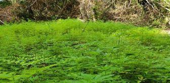 Hint Keneviri: Samsun'da ormanlık alanda ekili 103 bin 61 kök Hint keneviri ele geçirildi