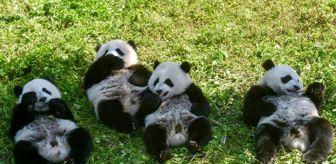 Dünya Doğa Ve Doğal Kaynakları Koruma Birliği: Çin dev pandaları soyları tükenmekte olan hayvanlar listesinden çıkardı