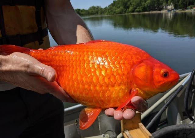 ABD'de göletlere bırakılan Japon balıkları istilacı türlere dönüştü! Sosyal medyadan çağrı yaptılar