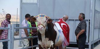 Gölbaşı Belediyesi: Ankara'da 'Kurban Güzellik Yarışması'