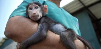 Rejected by mother, baboon cub 'Nisan' became the mascot of the nature park