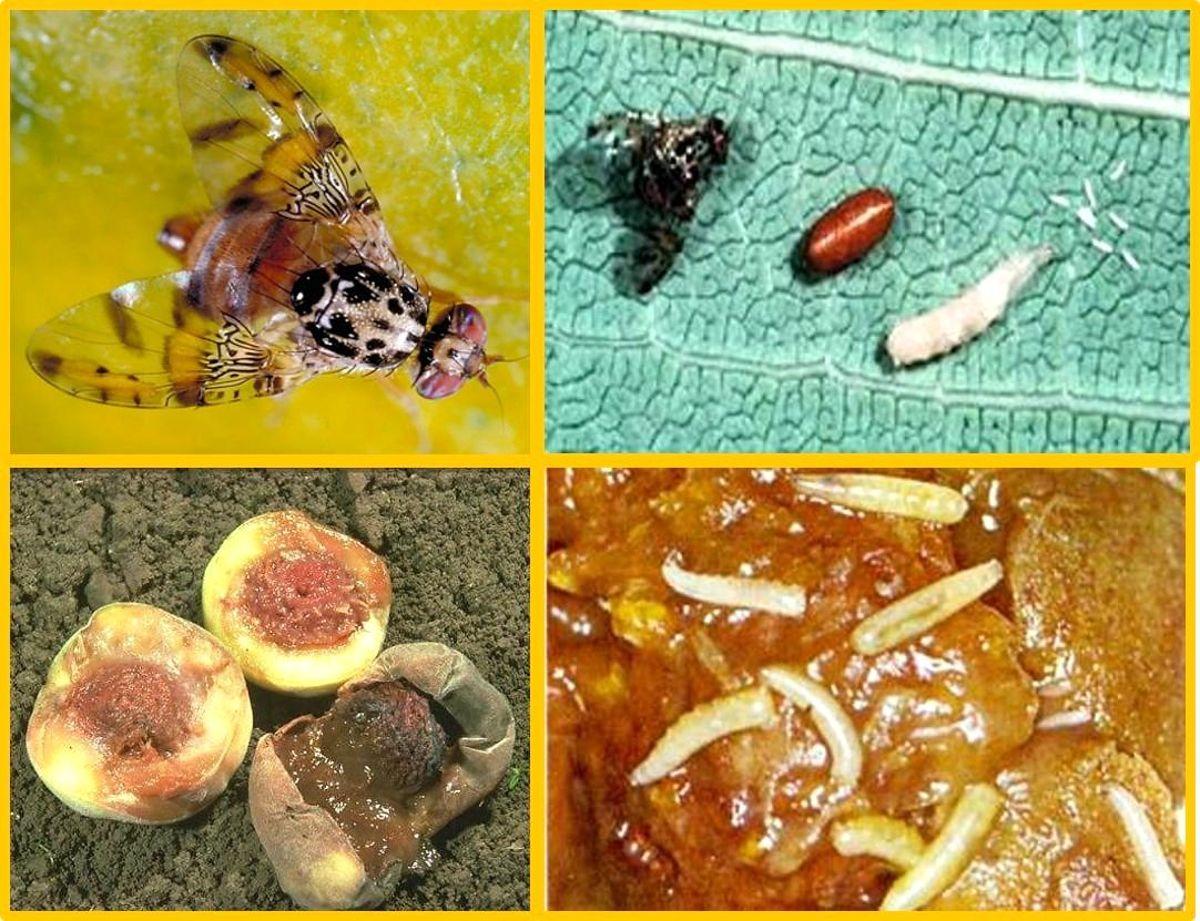 Meyvelerde salgın hastalık uyarısı