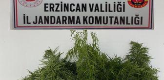 Çayırlı: Erzincan'da 37 kök Hint keneviri ele geçirildi