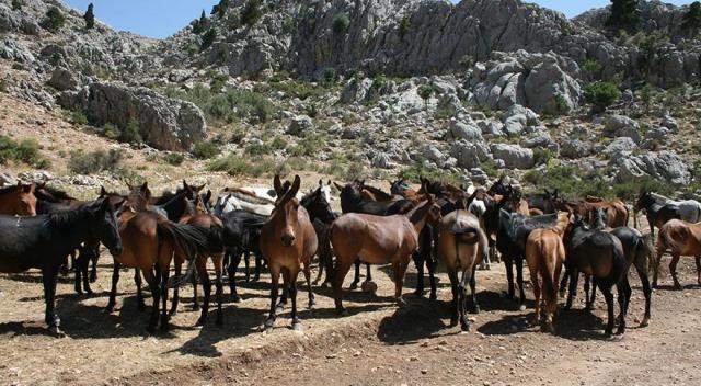 Antalya'da devam eden yangın 1500 yılkı atının yaşam alanı olan Eynif Ovası'nı da sardı
