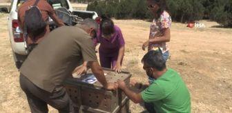 Beldibi: İyileşen Ak Kuyruklu Kartal doğaya salındı