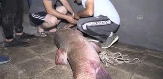 Kemah: Karasu Nehri'nde 85 kilogram ağırlığında 180 santimetre uzunluğunda turna balığı yakalandı