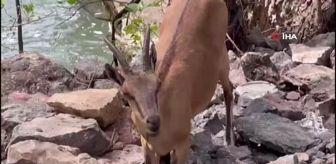 Pülümür: Koruma altındaki yaban keçileri Munzur ve Pülümür Vadisi'nde görüntülendi