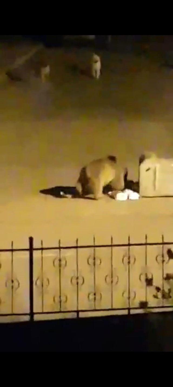 Aç kalan ayı, çöp konteynerinde böyle yiyecek aradı