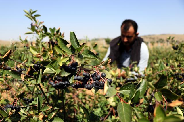 Eşinin sağlığı için yetiştirmeye başladığı meyveden bu yıl 1 milyon 900 bin lira kazanacak