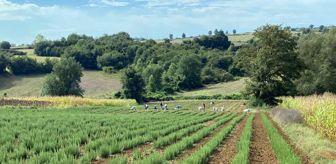 Arslanbey: Kocaeli'de biberiye hasadı sürüyor