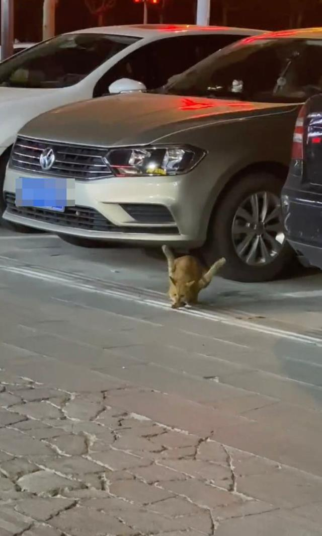 Bacakları ters kediyi görenler görenler gözlerine inanamıyor! Tecavüze uğrayınca ön ayakları havada kaldı