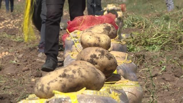 Patates, ayçiçeği ve mısır hasadına başlandı