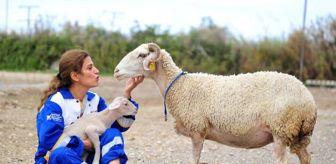 Hayvan Hakları Federasyonu: Son dakika haberleri! MANAVGAT'TAKİ YANGINDAN KURTARILAN KOYUN, BURSA'DA DOĞUM YAPTI