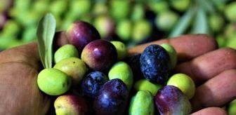 Zeytinyağı: Tescille önü açılan Mut zeytinyağı Avrupa'ya ihraç edilmeye başladı