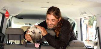 Alanya Belediyesi: Yaralı çoban köpeği, tedavisinin ardından sahiplendirildi