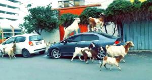 Ahırdan kaçan keçiler, İzmir'i bastı