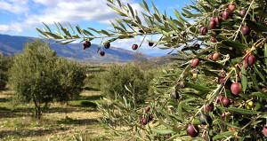 Bakan'dan zeytinlik sahalarıyla ilgili önemli açıklama!