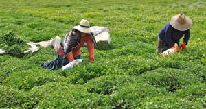 Yaş çay taban alım fiyatı açıklandı
