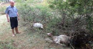Burhaniye'de büyük felaket! 50 keçi telef oldu