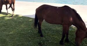 Sarıyer'de sahili başıboş atlar bastı