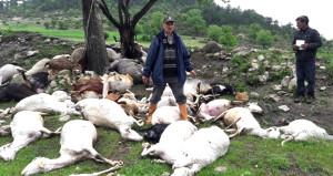 Yıldırımla gelen dehşet: 52 koyun telef oldu