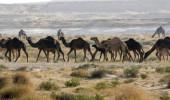 Yok artık deve! Suudi Arabistan tek tek sınır dışı etti